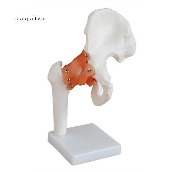 Hip Joint with Ligament Model