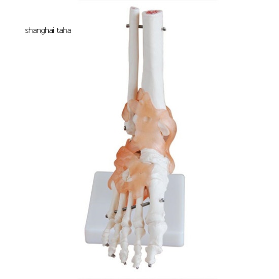 Foot Joint with Ligament Model
